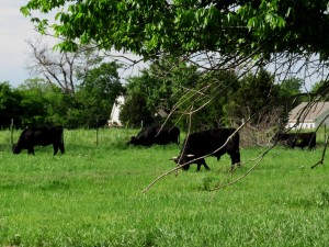 dexter cows at west family farm in greenville texas