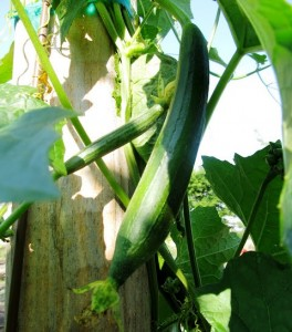 luffa gourd growing and ripening on a vine at west family farm