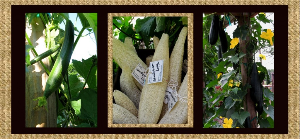 luffa loofah sponges gourds on vine at west family farm in greenville texas