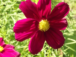 Cosmos are one of Susan Meeker-Lowry's favorite flowers to grow in her organic garden in Maine