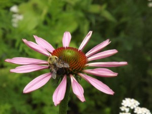 bee collects nectar from a purple conelower (echinacea) at gaias garden herbals in maine