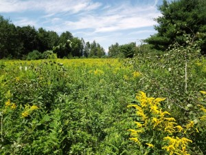 Field of Golden Rod (Arnica) in Maine in back of Susan Meeker-Lowry's home