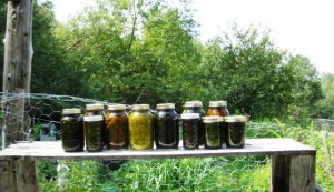 oils made with homegrown herbs by susan meeker-lowry of gaias garden herbals in maine