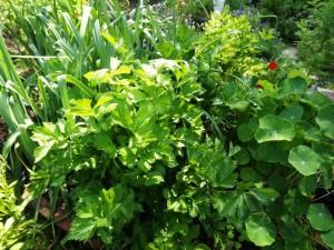 leeks celery nasturtiums susan meeker-lowry's organic garden in maine
