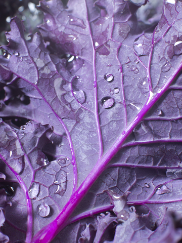 Kale leaves range in color from dark green to blue-green or rich purple to deep burgundy-red. Photo by JenMackenzie, Dreamstime Stock Photo.
