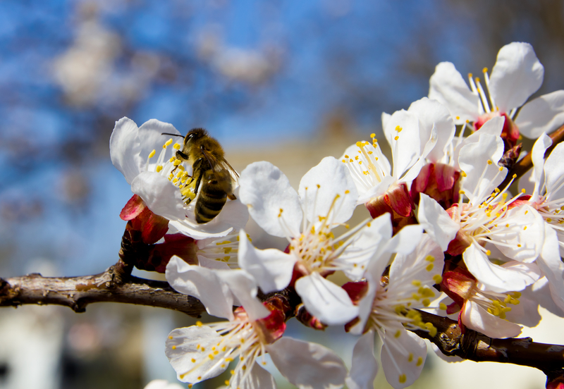 A bee sips nectar from cherry blossom in early spring. Photo by Maksimchuk, Dreamstime Stock Image.