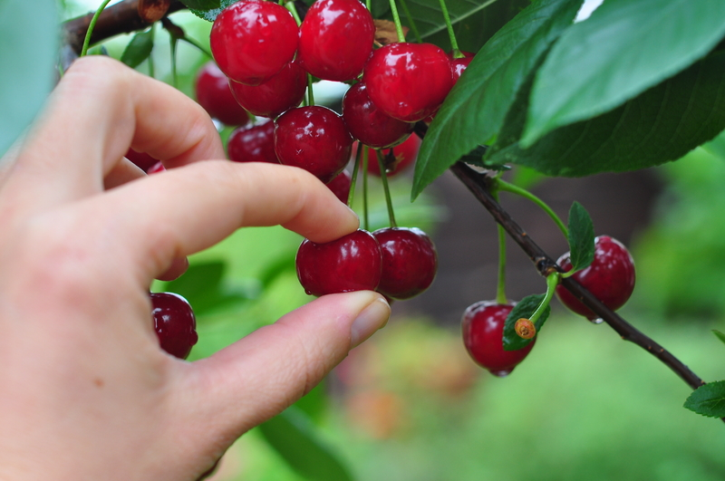 Picking cherries straight from a tree. Photo by Bbbrrn, Dreamstime Stock Image.