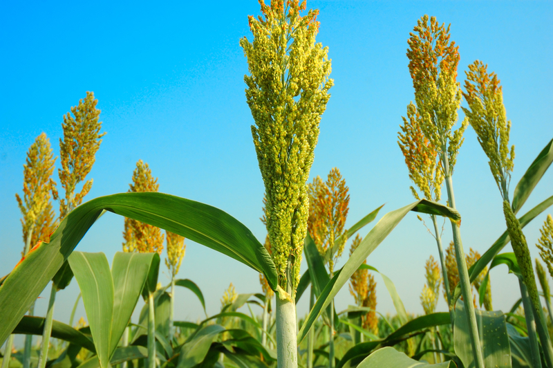 Broomcorn is a variety of sorghum used to make old-fashioned brooms. Photo by Seesea, Dreamstime Stock Image.