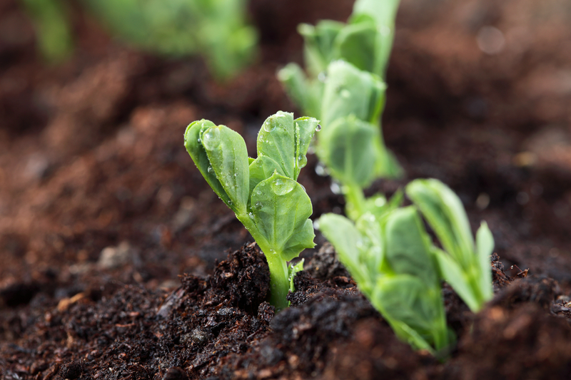 Peas begin to emerge from soil in spring. Photo by Lvenks, Dreamstime Stock Image.