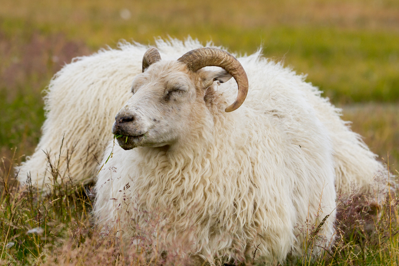 A horned Icelandic Sheep. Photo by Menno67, Dreamstime Stock Image.