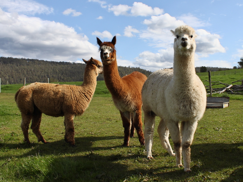 Alpacas naturally grow fiber in beautiful earthy shades. Photo by Ckywalker0, Dreamstime Stock Image.