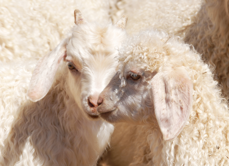 Angora kids (baby goats). Photo by Blackcurrent1, Dreamstime Stock Image.