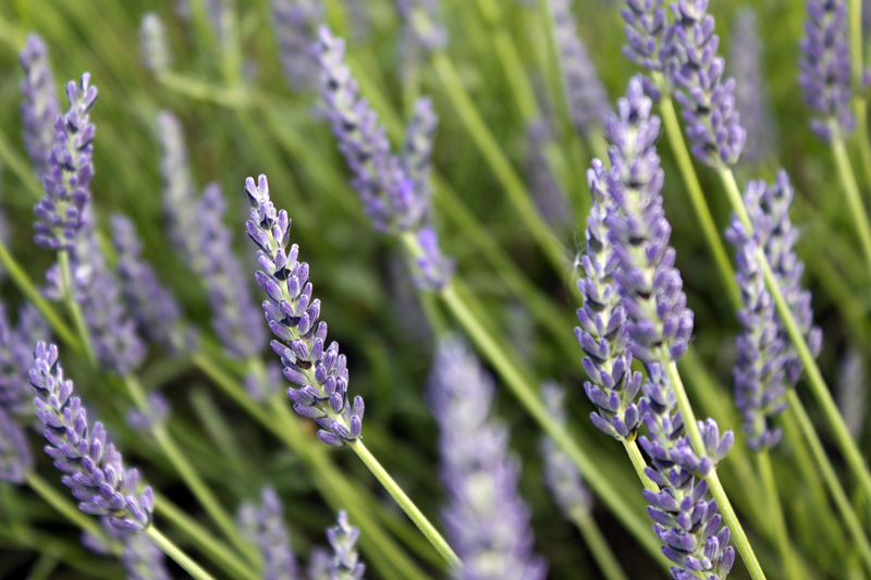 Lavender plant. Photo by by Sydney, Dreamstime Stock Image.