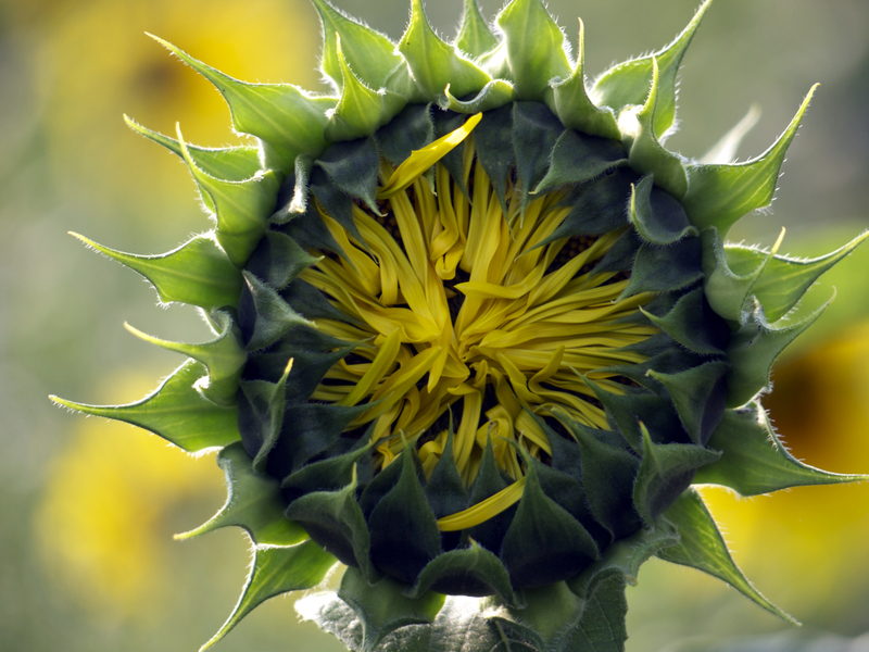 Unopened sunflower buds are edible.  Photo by Fritzundkatze, Dreamstime Stock Image.
