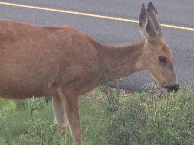 Deer in Sunriver. Photo by Eastonworks